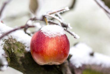 Effetti del gelo sulla frutta | SD Fruit